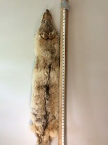 """Tanned Coyote Pelt, LOW Quality, Approximately 56"""" in Total Length"""