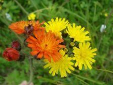 New listing 25 Orange Hawkweed Plus 25 Yellow Hawkweed Wildflower seeds ~ Organic