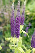 Gamander: le lunghe colore viola fiori PISTONE trascinamento molti bombi e api a