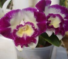 New listing Lc Nice Holiday 'Suntopia' orchid plant (155)