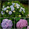 100 seeds / pack Mix color Hydrangea flower seeds amazing