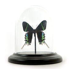 Small dome with mounted Urania leilus butterfly - sunset moth - Taxidermy!