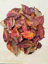 15X Catappa indian almond leaves ketapang leaf shrimp betta fish aquarium care