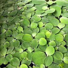 10 Baby Water Lettuce Pistia Stratiotes