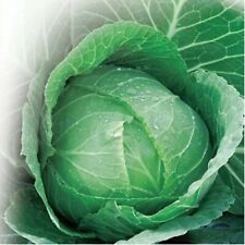 Seeds from Russia. AMAGER 611 Cabbage Non-GMO