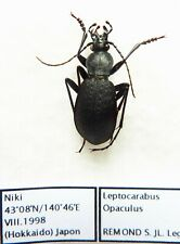 Carabus leptocarabus opaculus (male A1) from JAPAN