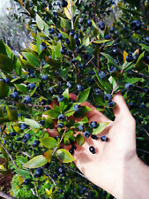 Bacche di mirto selvatico raccolte a mano per liquore - Myrtus communis 1Kg