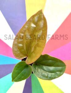 Anthurium radicans x luxurians starter plant