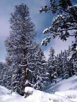 NATURE LANDSCAPE PHOTO COLORADO SNOW WINTER FIR PINE POSTER ART PRINT BB1463B