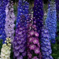 50 Dark Mix Delphinium Seeds Perennial Garden Flower Bright Seed Flowers 129