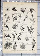 Botánica tabaco Canterbury Campana de impresión de 1886 Sweet Pea Amarillo Iris Snapdragon
