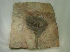 BUTW Fossil Silurian Scyphocrinites Crinoid specimen with stand 9633D dl