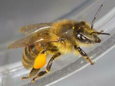���� 2 Real Honey Bees �� Dry ��* Specimen Insect Taxidermy