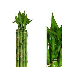 10stück lucky bamboo  Glücksbambus Dracaena Sanderiana 50cm lang +/- gerade