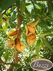 Mandorle di Sicilia in Guscio, Cultivar Tuono 5 kg