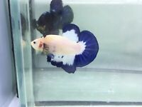 Live fish betta Blue Mable Male Special limited Beautiful pattern