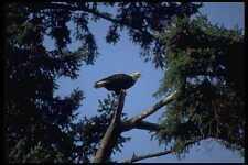 008031 Bald Eagle In Tree A4 Photo Print