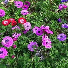 Anemone coronaria Annual Flower 120+ Seeds Mixed Colours  Double Windflower