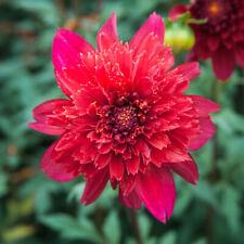 "3-""Jive Anemone Decorative Dahlia"" Root Spectacular Cut Flowers New Flower Bulb"