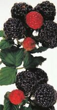 Rubus idaeus 'Black Jewel' Himbeere