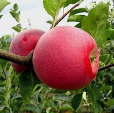 Apple Tree Glory to the winner seeds from Ukraine