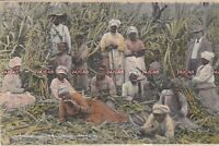 Jamaica  Postcard. Labourers in sugar cane field. Duperly. Mailed 1910