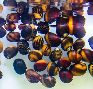 Red Nerite Snail (Vittina waigiensis) Algae Eating Snail