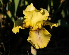 *Desert Echo* Tall Bearded Iris. Freshly Dug, Combined Shipping: Feb - Mar
