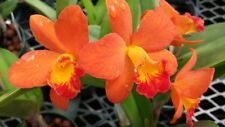 Orchid Blc Shinafong Orange Golden Luck Exotic Tropical Plant