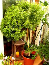Thai BASILIKUM auch als Baum Hochstamm zu ziehen mehrjährig, Ocimum canum