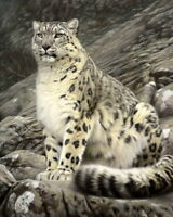 Art Giclee Snow Leopard Oil painting Hd Giclee Printed on canvas P1371