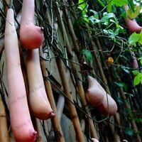 Semillas Exóticas Forma calabaza de Vietnam