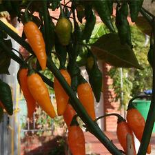Australian Lantern orange Chilli aus Australien scharfe aromatische Chili