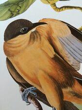 Mangrove Cuckoo Audubon Bird Print Picture Plate 231