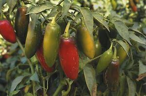 Vegetable - Pepper (Chilli) - Jalapeno - 200 Seeds