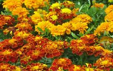 1000 mixed colors Marigold Seeds French Dwarf organic +gift