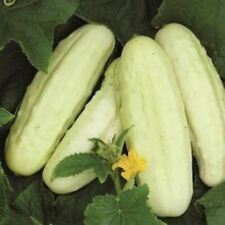 Cucumber White Wonder  ORGANIC HEIRLOOM SEEDS Excellent Eating COMBINED SHIPPING