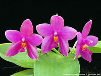 Rare orchid hybrid (seedling) - Phalaenopsis lueddemannian x violacea x bellina