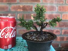 Chinese Shimpaku Juniper Mini Bonsai Tree