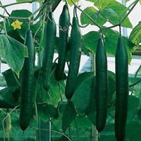 Seeds Rare Cucumber Zozulya F1 Giant Pickling Vegetable Organic Russian Ukraine