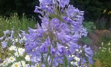 3 Agapanthus year old seedlings, no pesticides, no herbicides, in 7cm pots £7.99