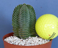 CRASSULA ' BUDDHA'S TEMPLE' - succulent 6cm tall in 8cm Pot