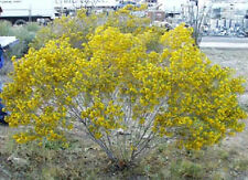 25 Yellow SILVER CASSIA Silvery Leaf Senna Aremisiodes Flower Seeds *Comb S/H