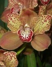 Cymbidium orchid Large Flowering Size Division Rothesay Butterfly