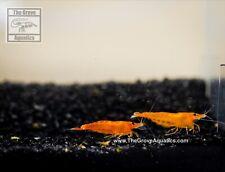 20+4 Orange Sunkist Neocaridina