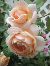 Auswonder Own Root English Rose Plant see combined shipping