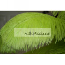 Lime Green Ostrich Feathers Male Plume Wing Ostrich Feathe22-24 inches 12 Pieces