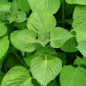 PERILLA Green 100+ Seeds, SHISO Korean Green