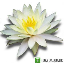Nymphaea Charlene Strawn Yellow Live Hardy Water Lily Tuber Pond Plant Garden