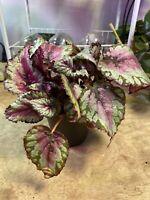 Rex Begonia-Stunning!